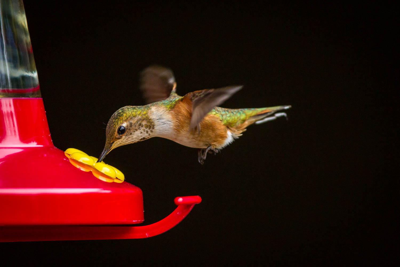 Rufous hummingbird at the backyard feeder