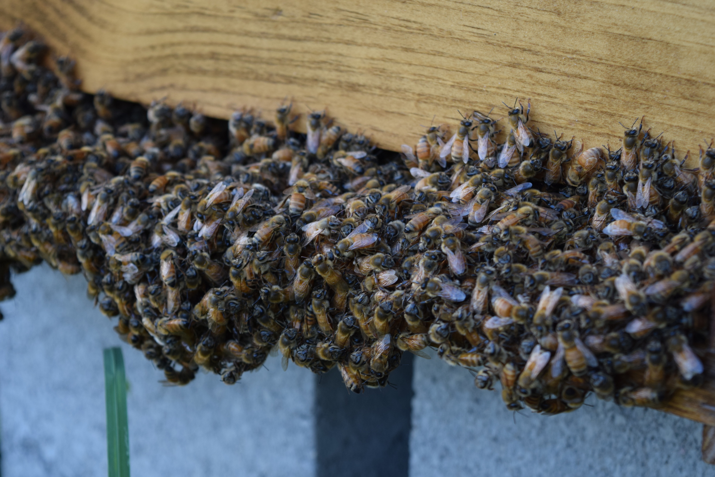 Hive bearding during hot, humid weather.