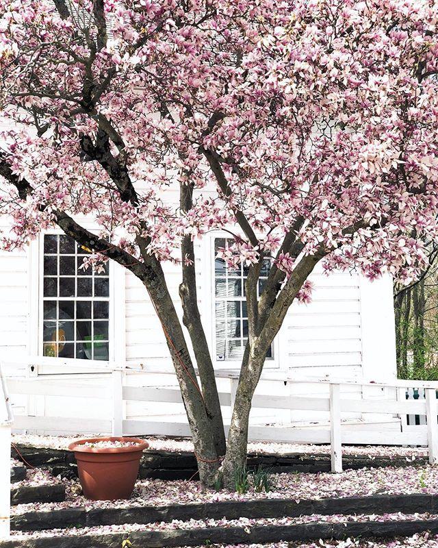The magnolia tree is on of the wonders of this time of year. #latergram💫🌸⠀⠀⠀⠀⠀⠀⠀⠀⠀ ⠀⠀⠀⠀⠀⠀⠀⠀⠀ ⠀⠀⠀⠀⠀⠀⠀⠀⠀ ⠀⠀⠀⠀⠀⠀⠀⠀⠀ #livefolk#thatsdarling#pursuepretty#darlingmoment#darlingweekend#liveauthentic#vscocam #clubsocial#health#mindbody #iamwellandgood#caughtflowerhanded #ispyny #inspiredbypetals #gardening#farmers#organic#meditation #gardening #favoriteflowers #instablooms #flowermagic #caughtflowerhanded #natureinthehands #inspiredbypetals