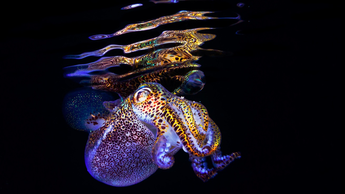 New Squid Genome Sheds Light on Symbiotic Evolution    |QUANTA & THE ATLANTIC, February 2019|