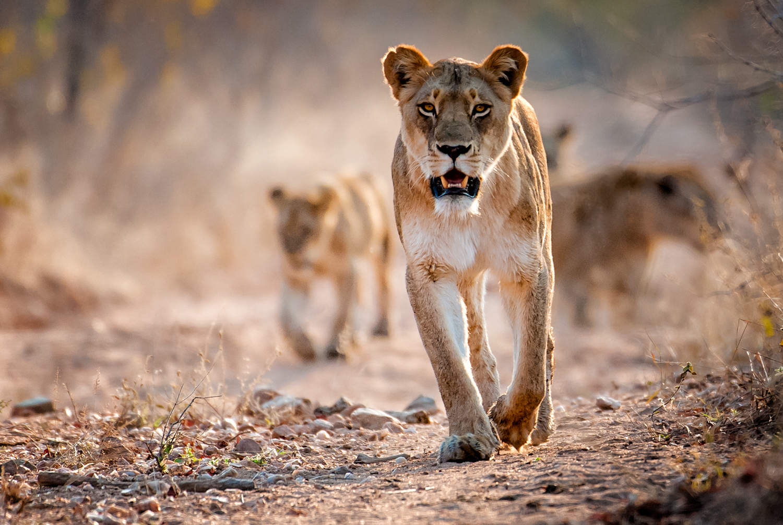 Lions / Kirkman's Kamp, Sabi Sands, South Africa