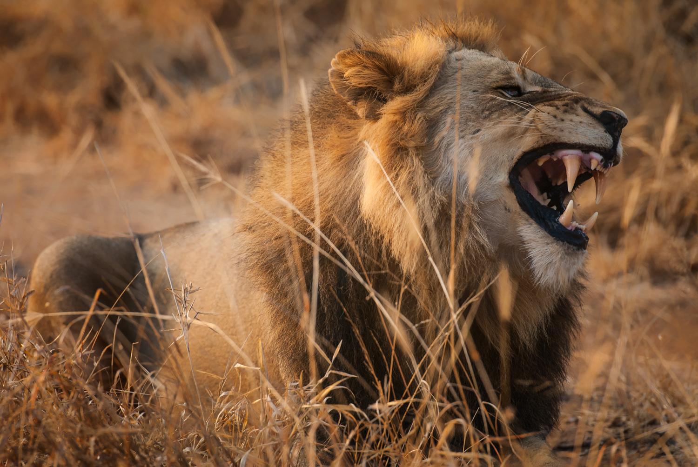 Lion calling in the morning / Kirkman's Kamp, Sabi Sands, South Africa