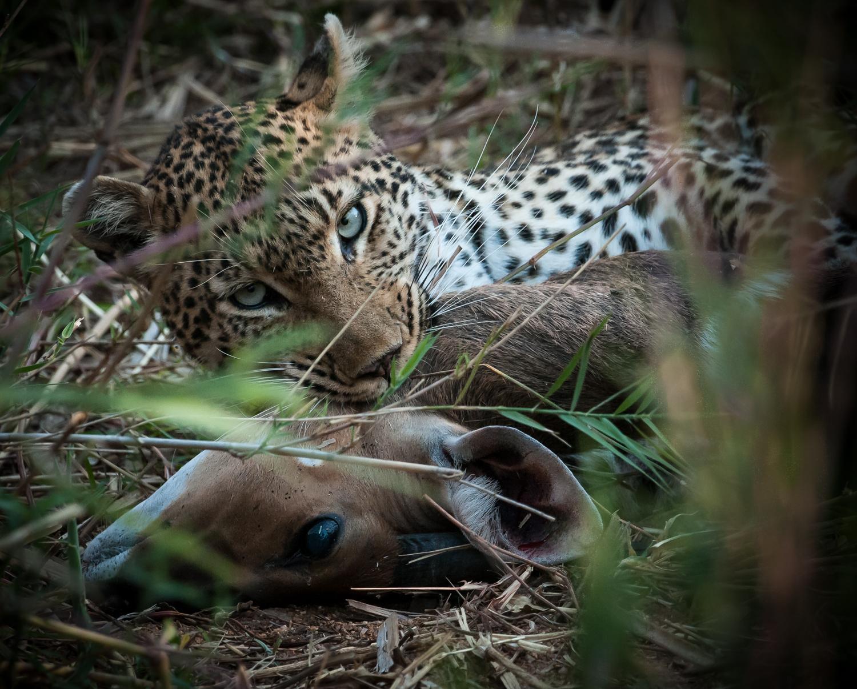Leopard with prey / Kirkman's Kamp, Sabi Sands, South Africa