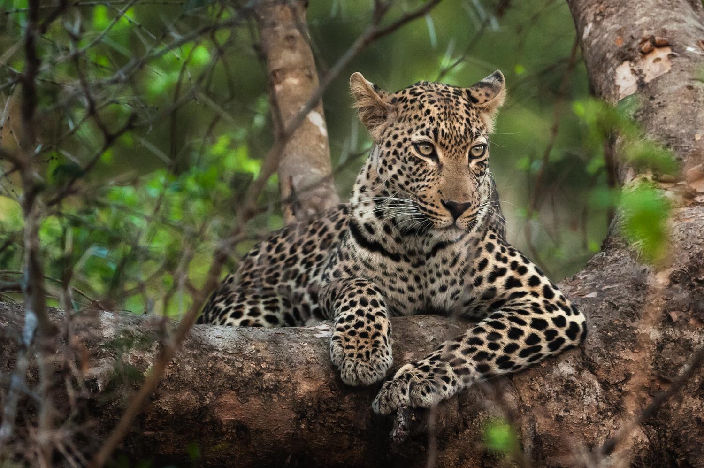 Leopard / Kirkman's Kamp, Sabi Sands, South Africa