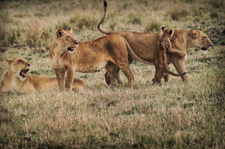 Lion Pride Calls / Maasai Mara, Kenya