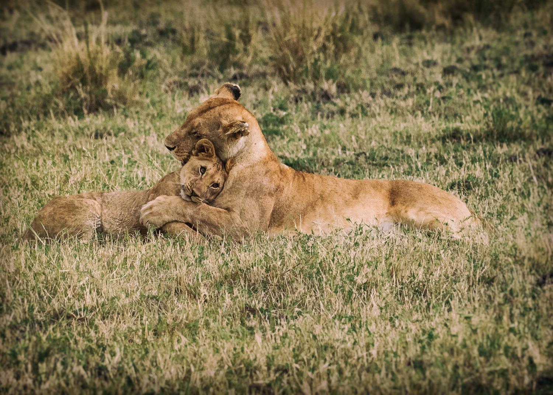 Lion Pride Snuggle / Maasai Mara, Kenya