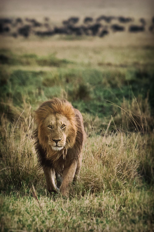 Lion Pride Male / Maasai Mara, Kenya