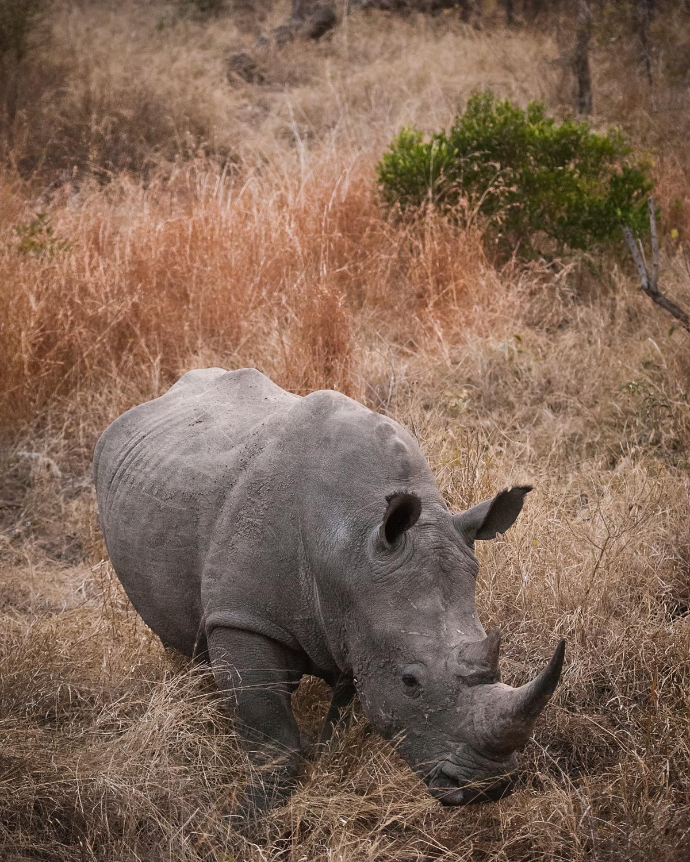 Kirkmans1_RhinoBush_ebs.jpg