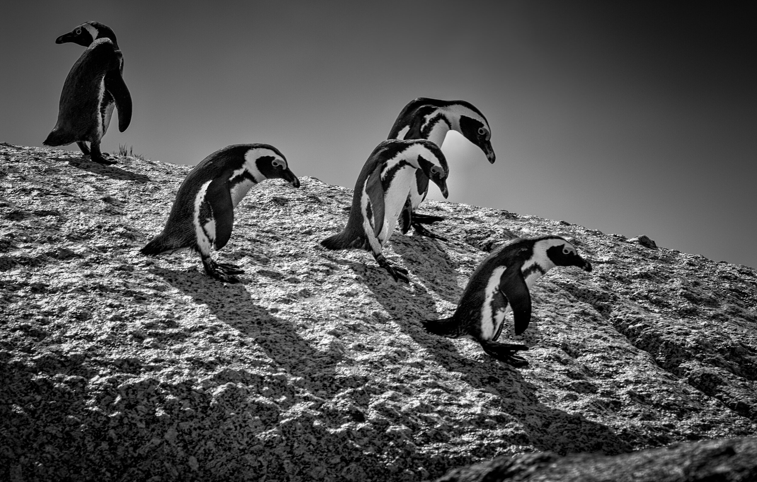 CapePenguins-75-Squarespace2500.jpg