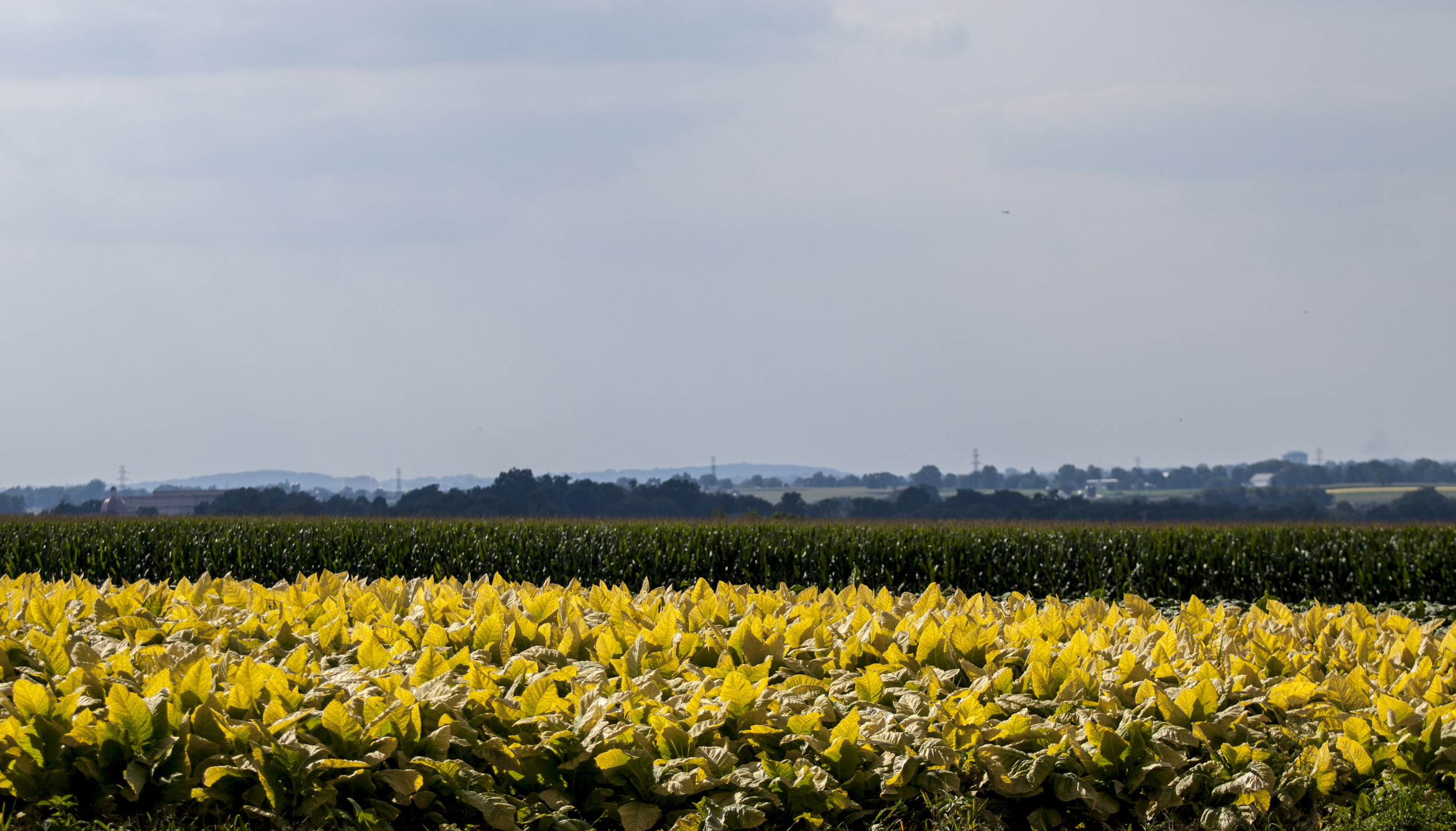 fields of gold. or in this case tobacco.