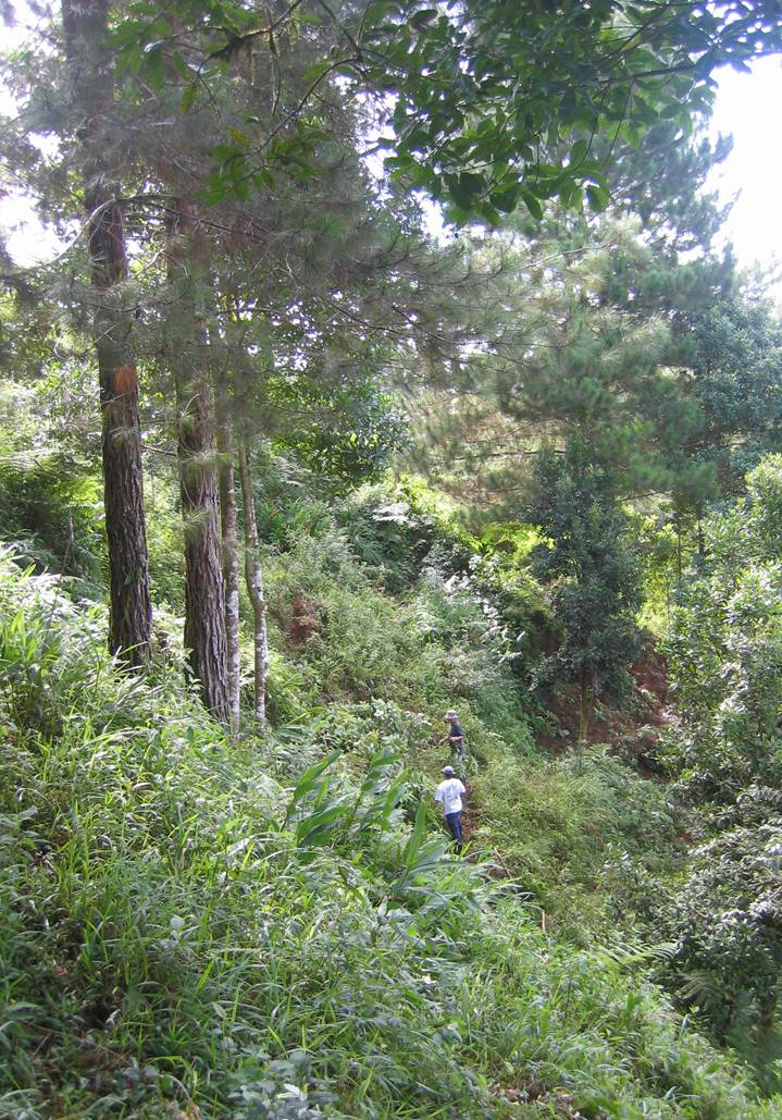 Stand of three pines (left) in an Ensayo94 plot after 13 years of growth.