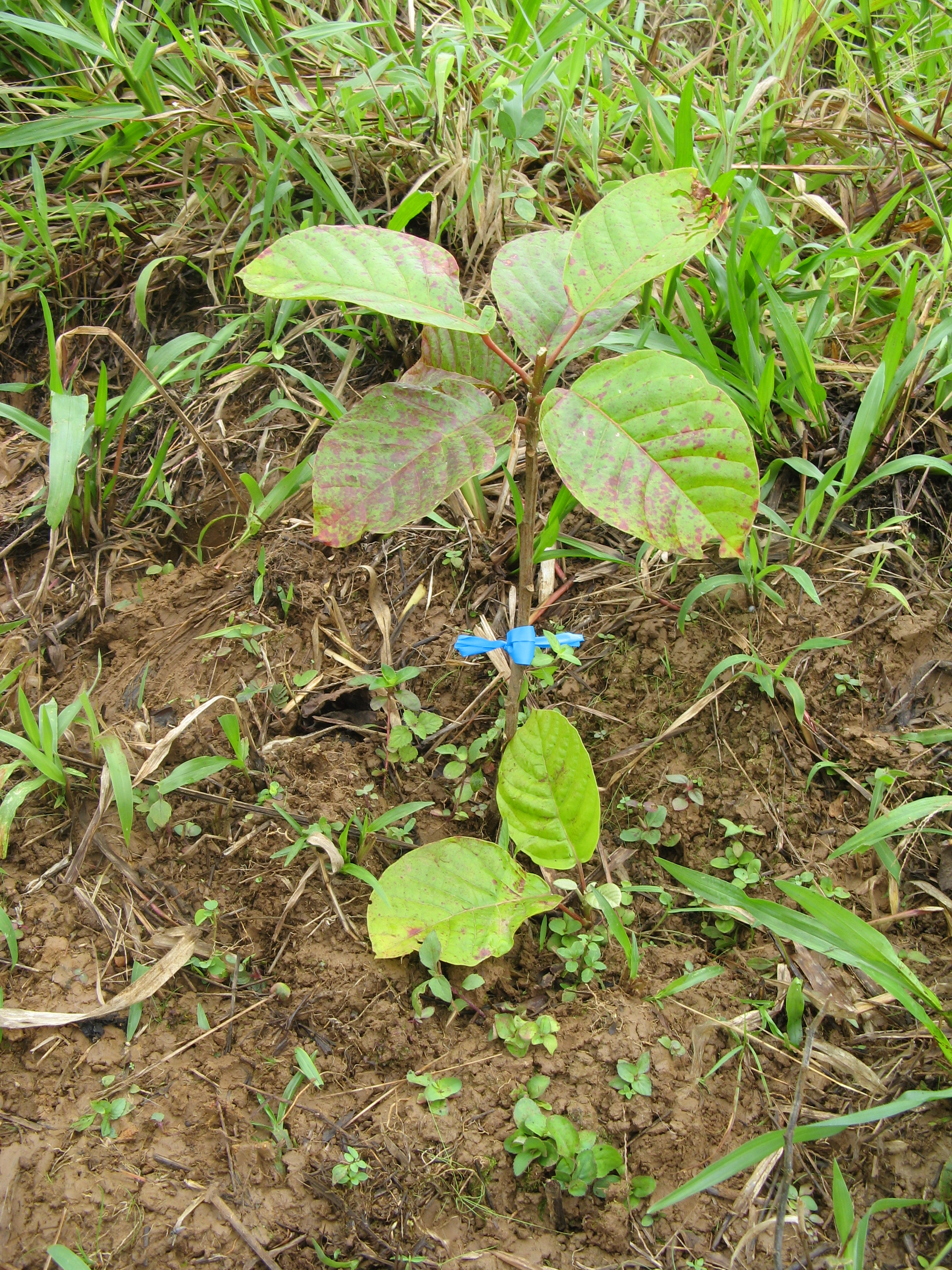 Pilon seedling in full sun. In contrast, when planted in shade, leaves are dark green and have few red spots.