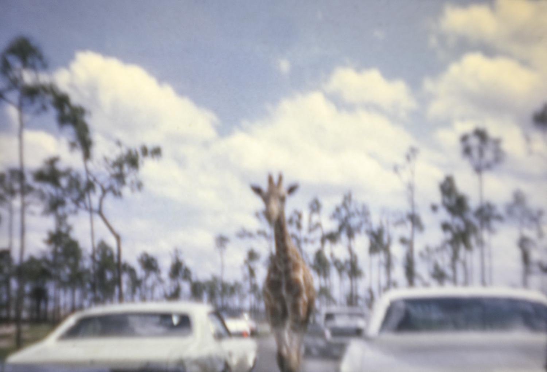 Giraffe on Loose