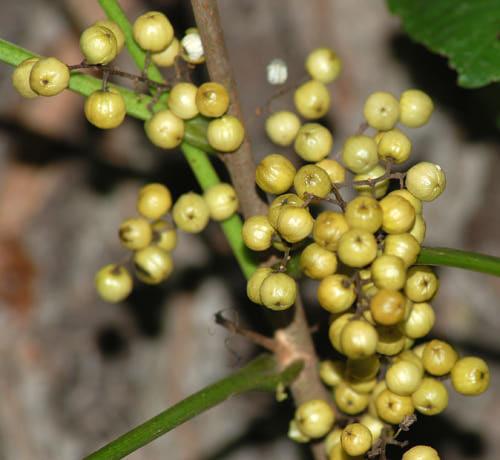 white_berries_poison_ivy.jpg