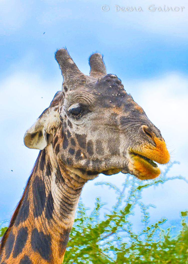 GG Africa Giraffe Samburu 1 WM.jpg