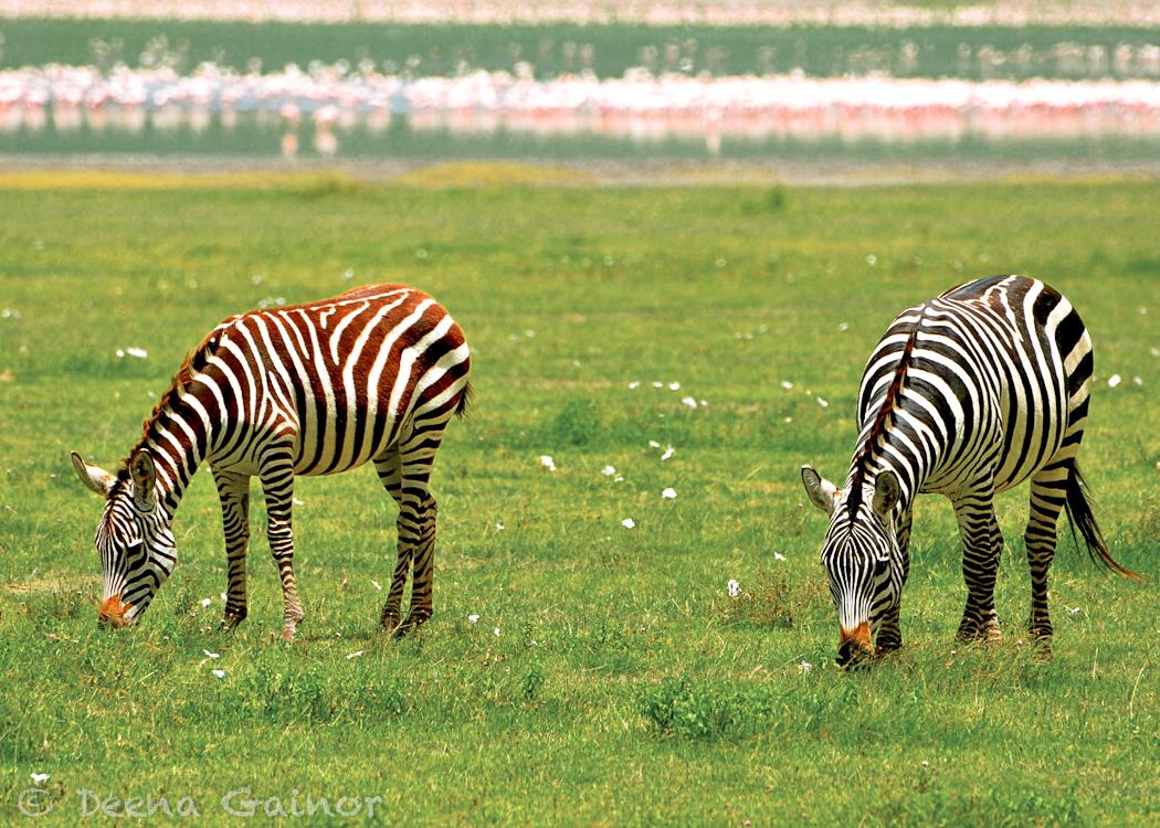 GG Africa Zebra LM Pink Flam WM.jpg