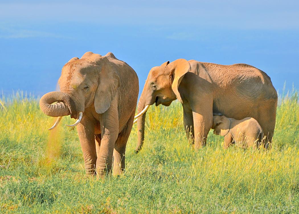 GG Africa Elephant Spit Mud WM.jpg