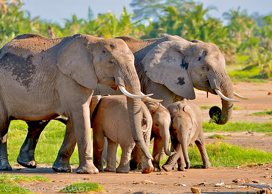 GG Africa Elephant Three Babies WM.jpg
