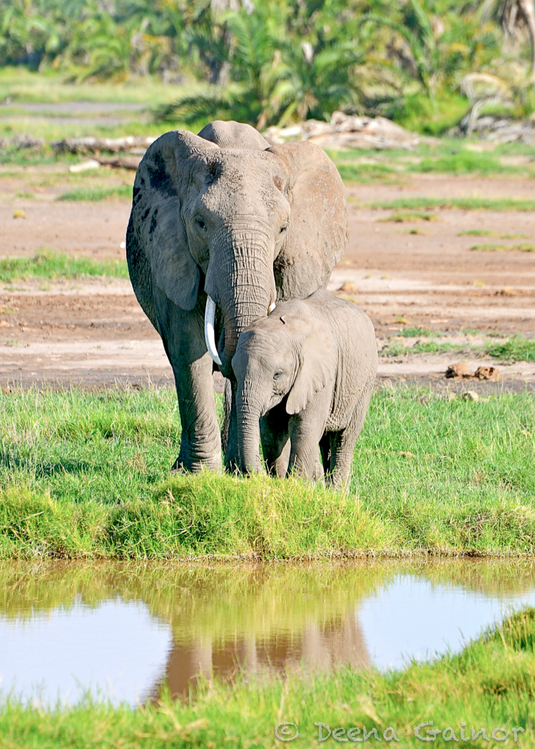 GG African Elephant mom baby water WM.jpg