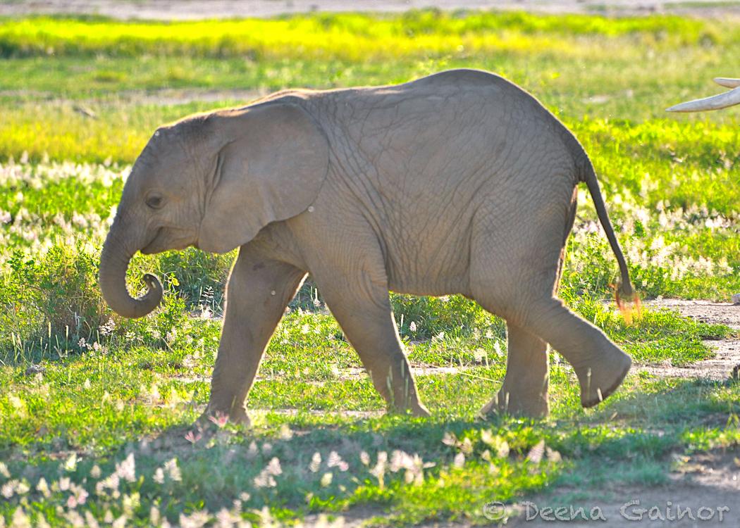 GG Africa Elephant Baby WM.jpg