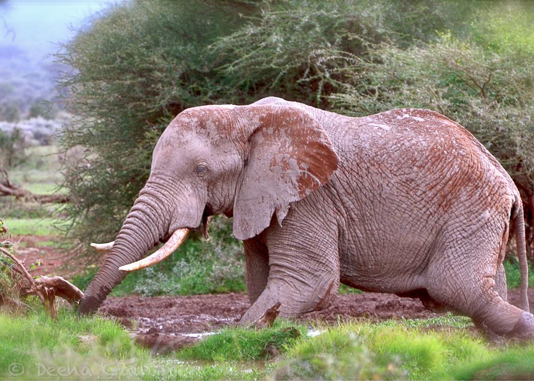 GG Africa Elephant Tawi Water 3 WM.jpg