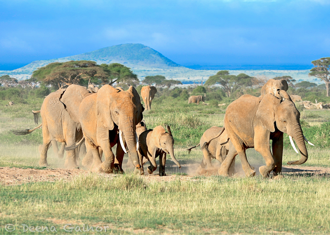 GG Africa Elephants Running WM.jpg