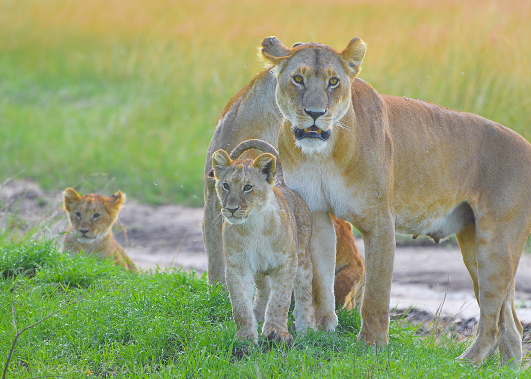 GG Africa Lioness Cubs Observing 1 WM.jpg