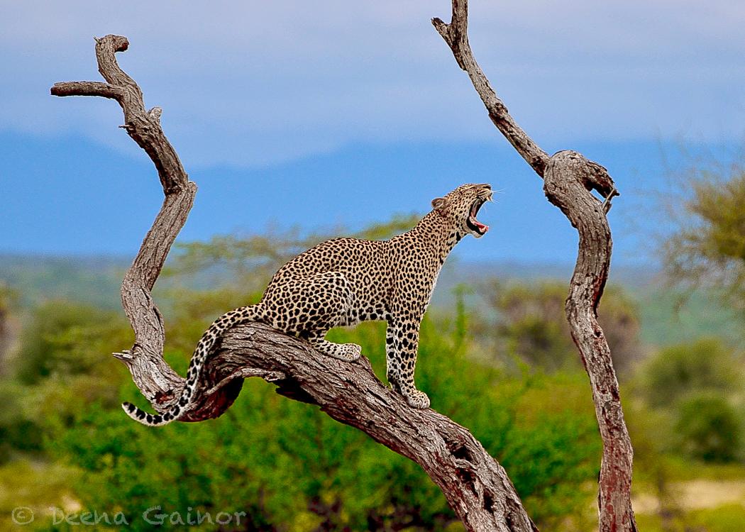 GG Africa Leopard Samburu Roar WM.jpg