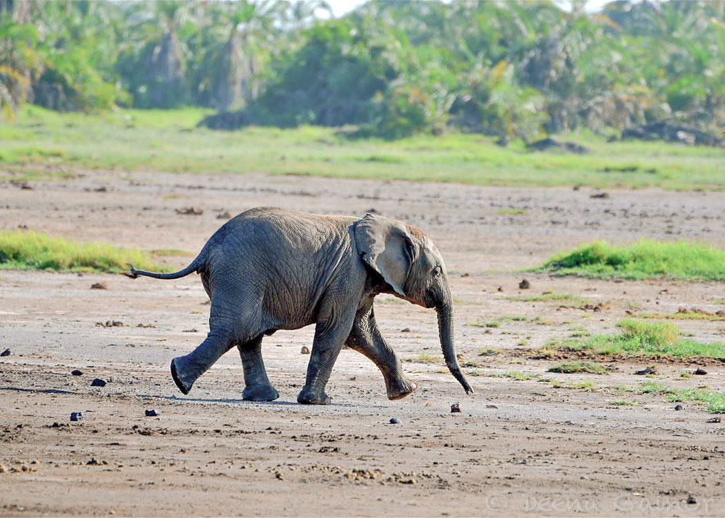 GG Africa Elephant Baby 2 WM.jpg