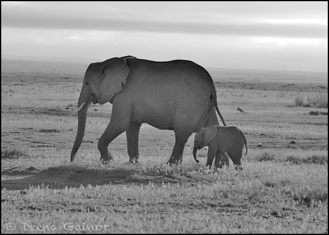 GG Africa Elephant Mom Calf Amboseli WM.jpg