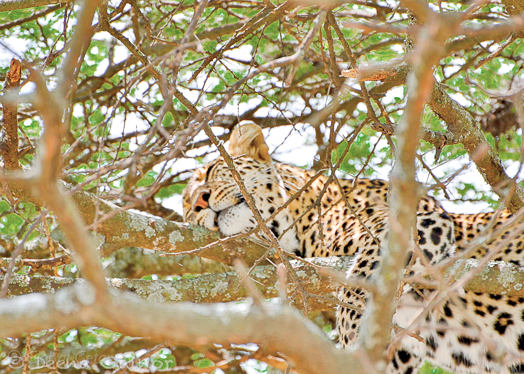 GG Africa Leopard Sleeping Ndutu WM.jpg