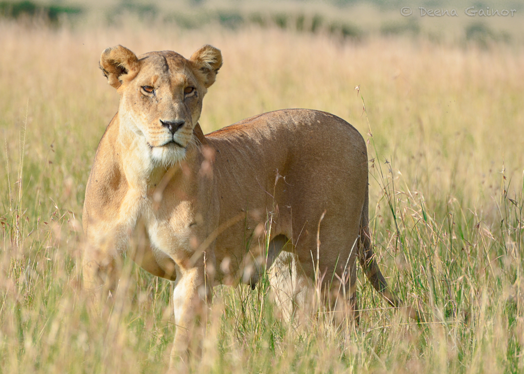 GG Africa Lion Mom WM.jpg