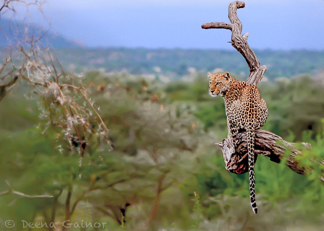 GG Africa Leopard 1.jpg