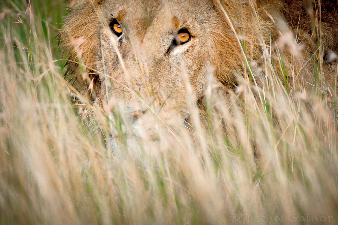 Lion in the Maasai Mara, Kenya, East Africa moments before he attacked an unsuspecting baby water buffalo