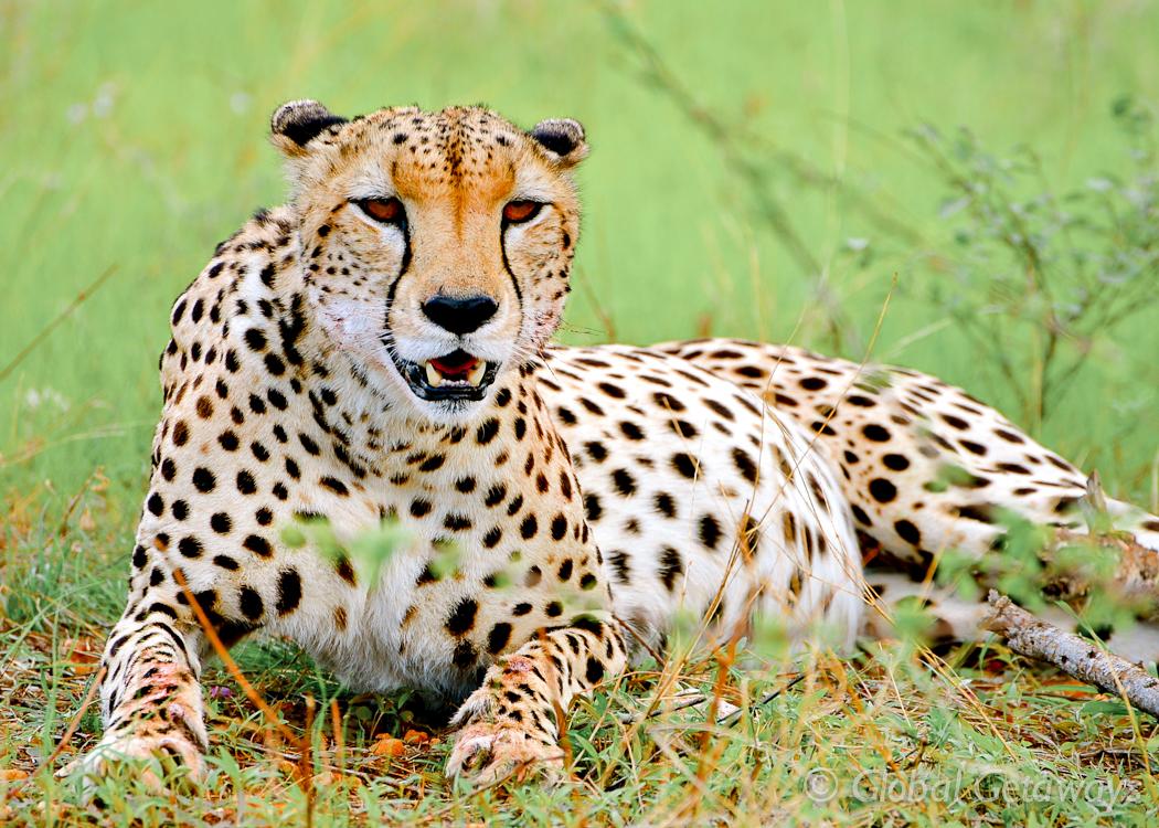 A Cheetah relaxing in Samburu after his feast