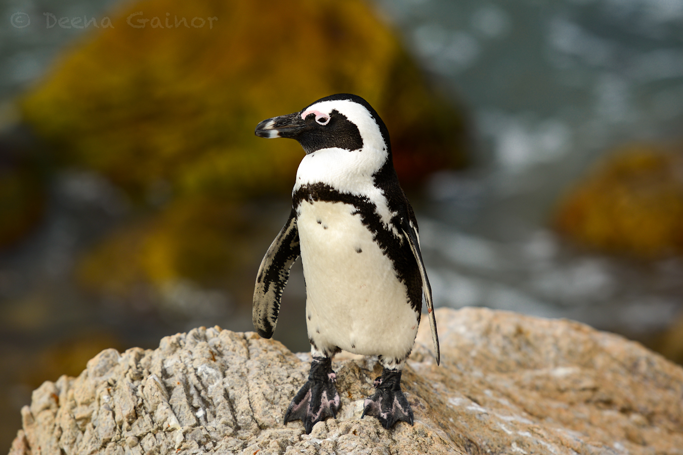 RTW South Africa Penguins 4 wm.jpg