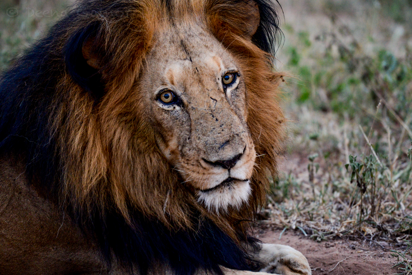RTW South Africa Lion 1 wm.jpg