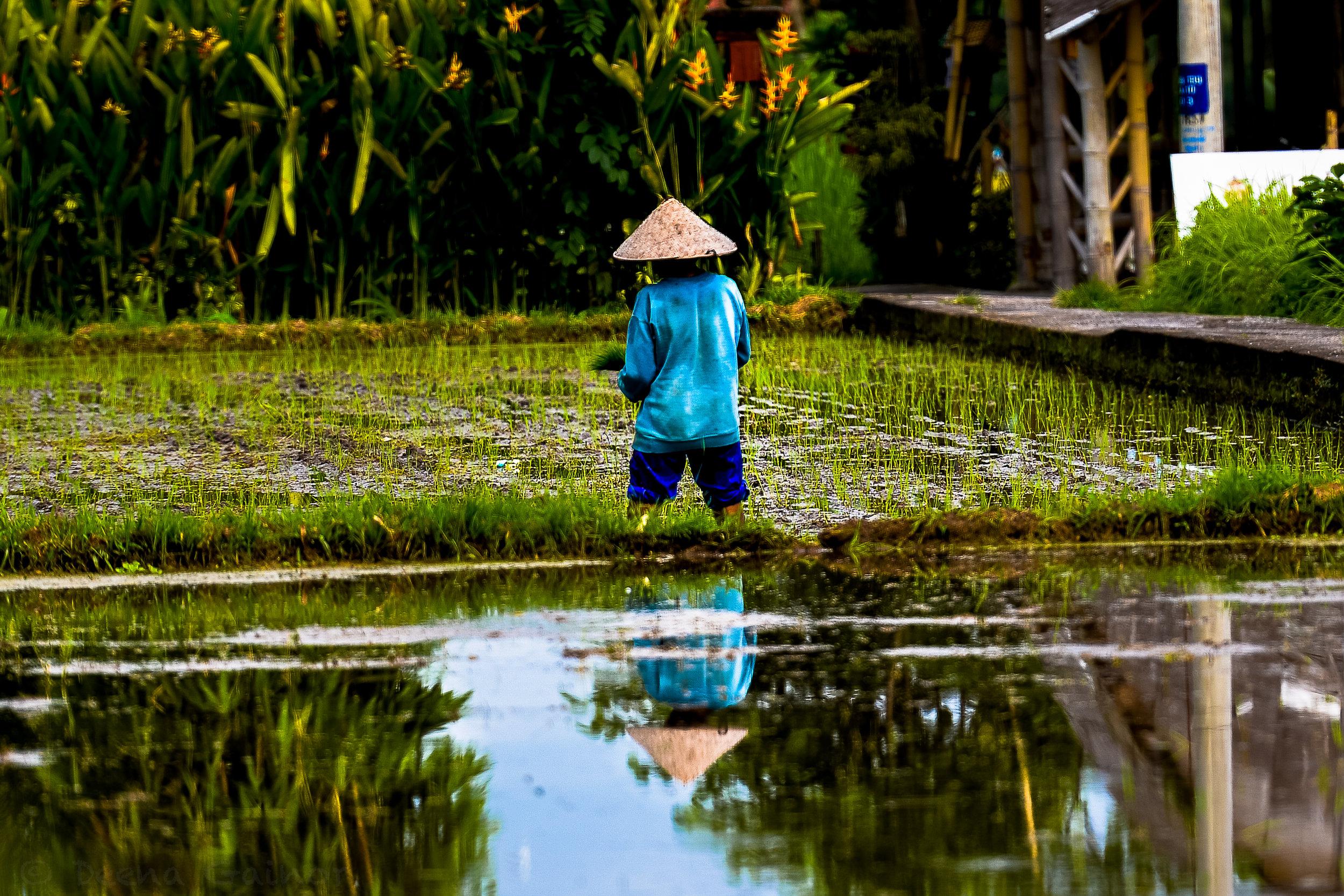 2015 Indonesia Fields wm.jpg