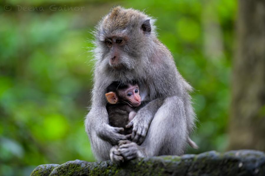 2015 RTW Indonesia Monkey 10 wm.jpg