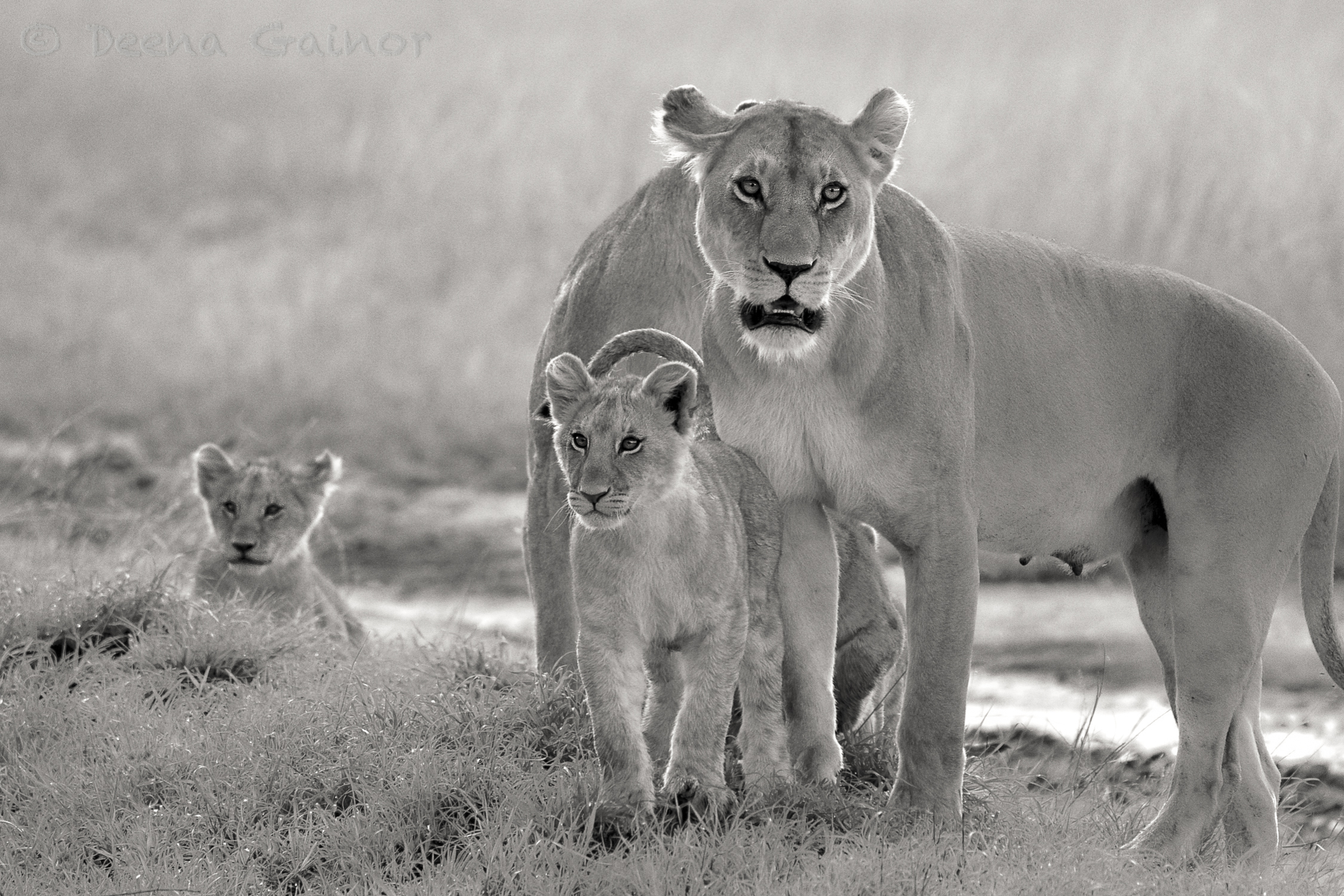 Lions on the Mara, Kenya