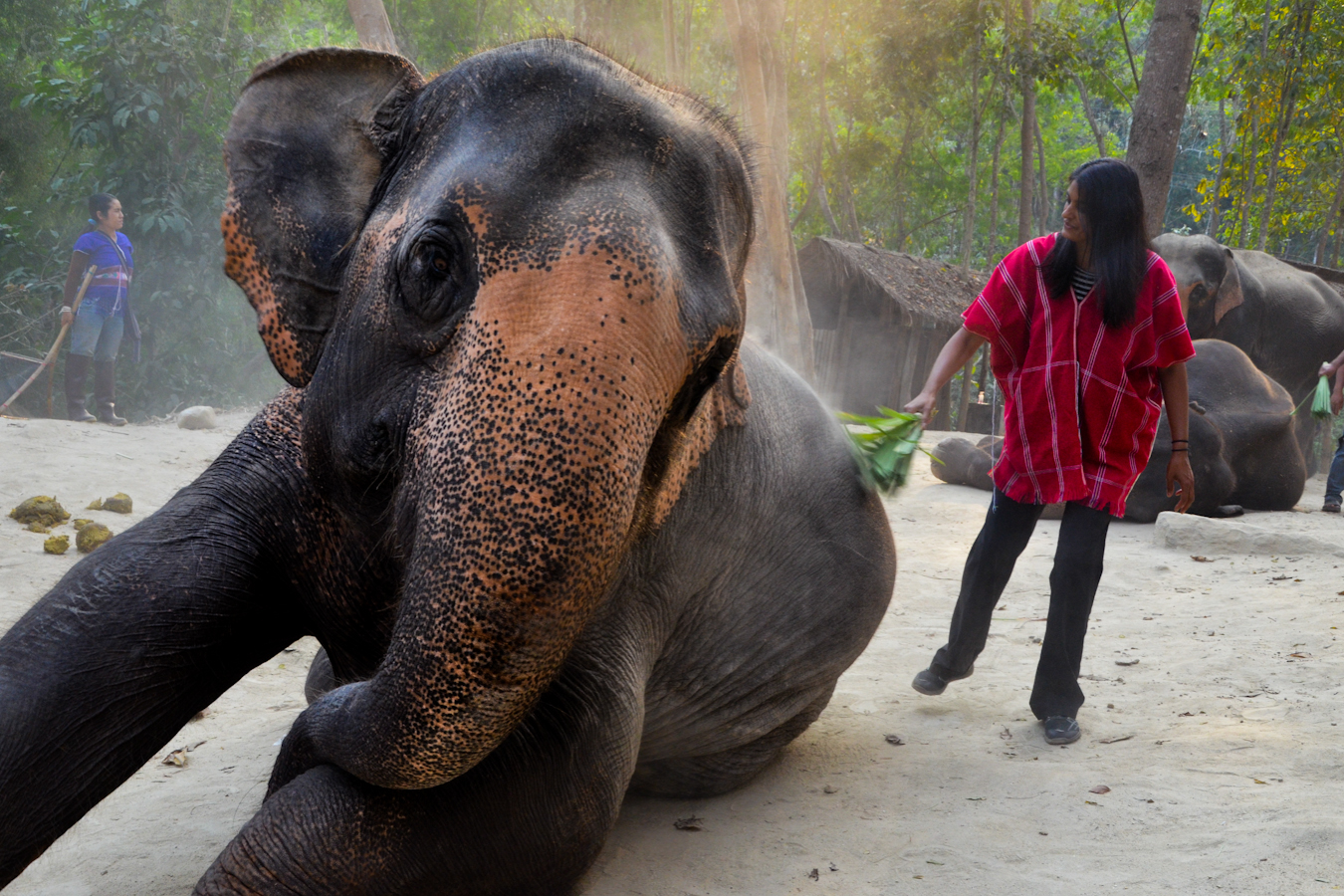 Caring for Elephants, Thailand