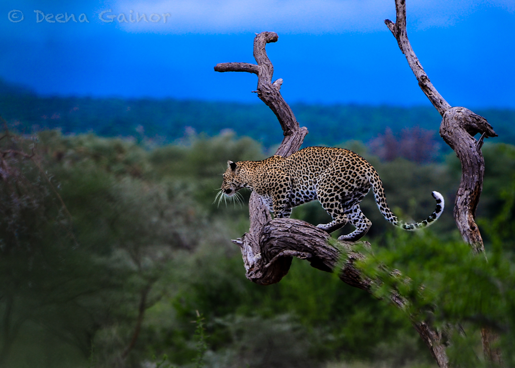 Leopard in Samburu, Kenya