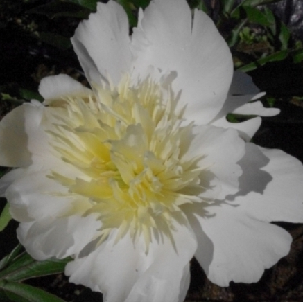 Charles White - A beautiful and elegant white peony. Charles White open to pearl white outer petals and a nice round white center with a light yellow-golden glow to it. It has some of the darkest green foliage of any peony, and grows on strong tall stems.