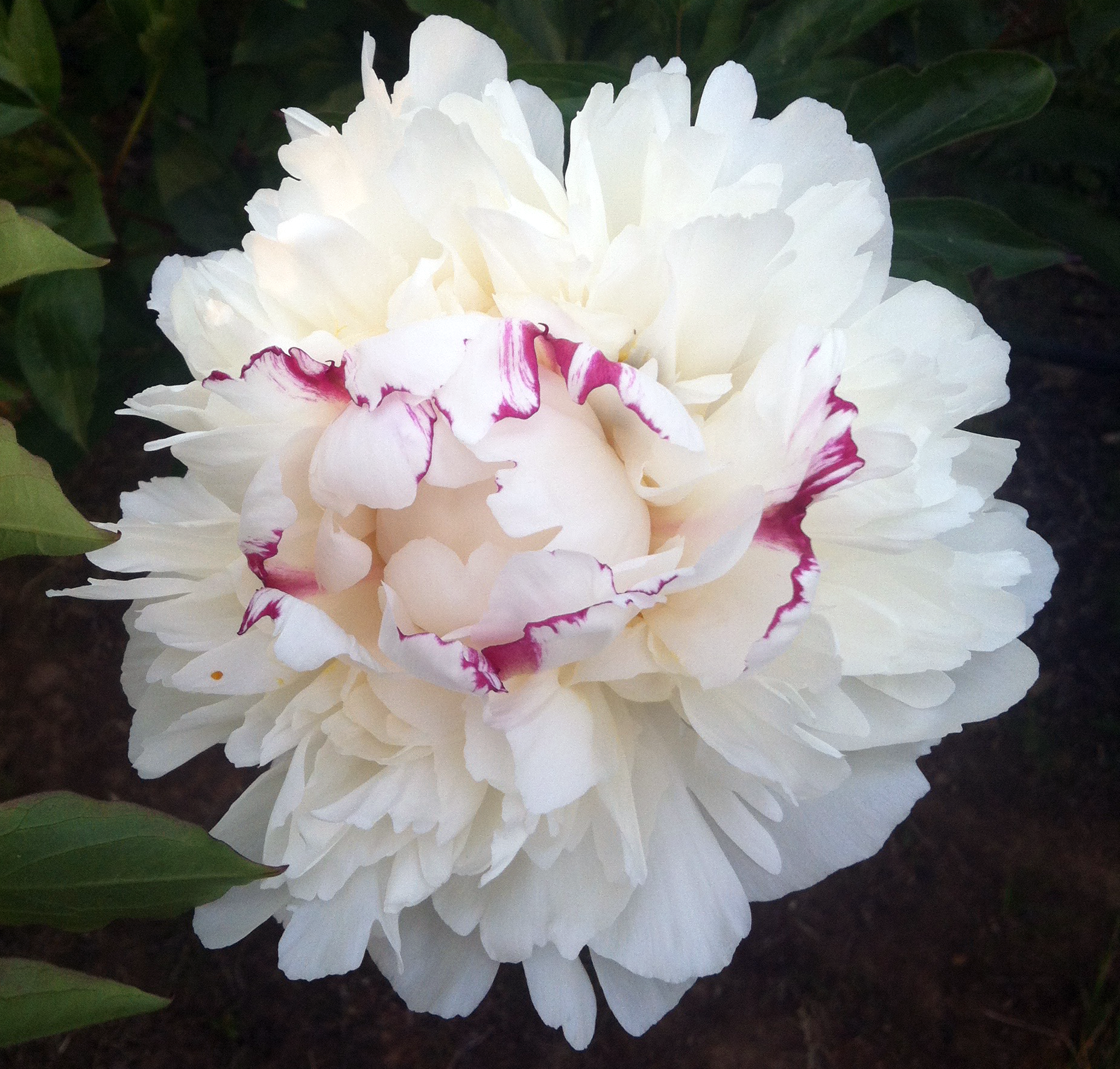 Festiva Maxima - Festiva Maxima is the peony you want if you want a clear white flower.It is a full double, clear white peony with small red highlights on the tips of a few petals. Leave the red in for texture or snip it out. Festiva has a light a clean fragrance and excellent vase life.