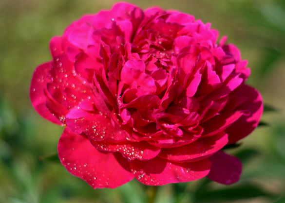 Kansas - Kansas is a bright red, early blooming peony. This large, double peony, is striking in bouquets or centerpieces. Try it with white of lighter peonies to steal the show! Kansas has a light fragrance that will fill the room.