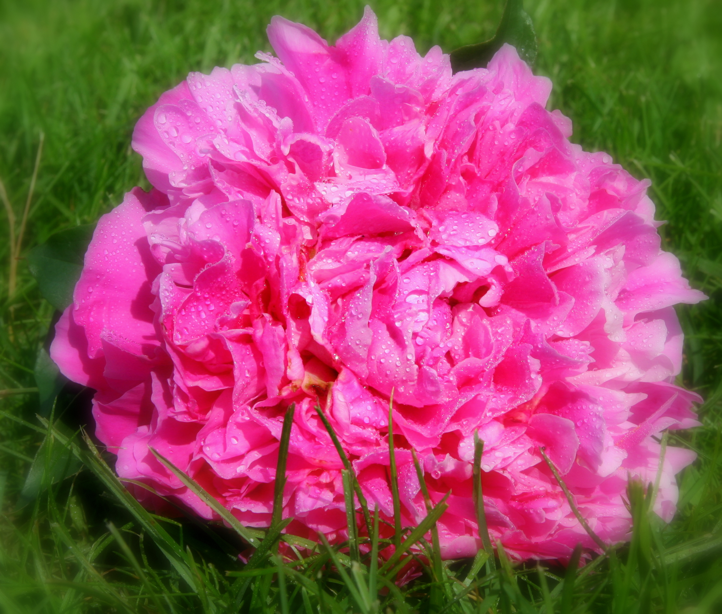 Felix Crousse - Felix Crousse is the largest of the hot pink / fuchsia peonies.  It is full double with well scalloped petals that ruffle in a light breeze.  Felix has a pleasant fragrance that delicately fills the room.