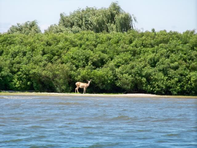 This deer is on an island surrounded by strong currents