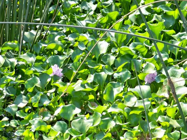 Water Hyacinth, mentioned often by the punchers.