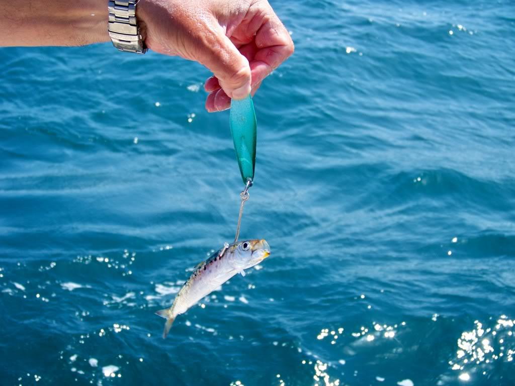 Tady TLC jig rigged with live sardine