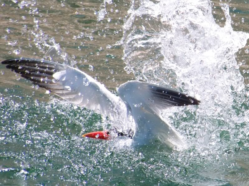 """Fish are not the only animals to attack swimbaits. That is exactly what this Turn is doing, dive bombing and trying to catch my 6"""" slow sink. Due to this bird's persistence I had to leave the area."""